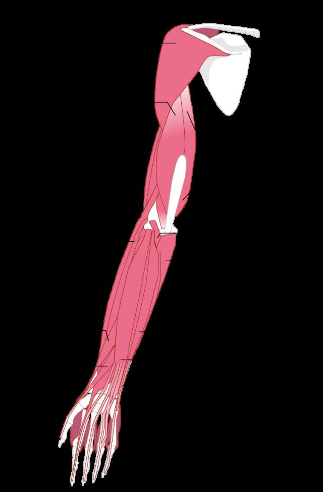 腕の筋肉のイラスト