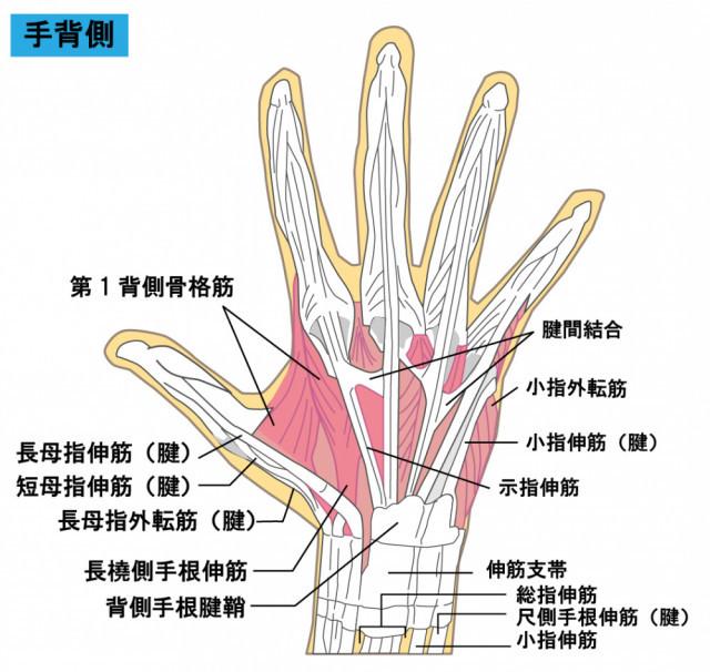 手の骨格・筋のイラスト